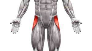 Tensor Fasciae Latae Muscle - Anatomy Muscles isolated on white - 3D illustration